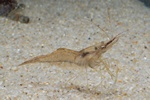 Baltic prawn (Palaemon adspersus)